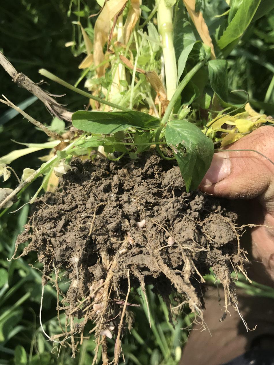 Hier kann man die Knöllchenbakterien an den Wurzeln der Erbse gut erkennen. Durch sie kann die Pflanze Stickstoff aus der Luft im Boden speichern