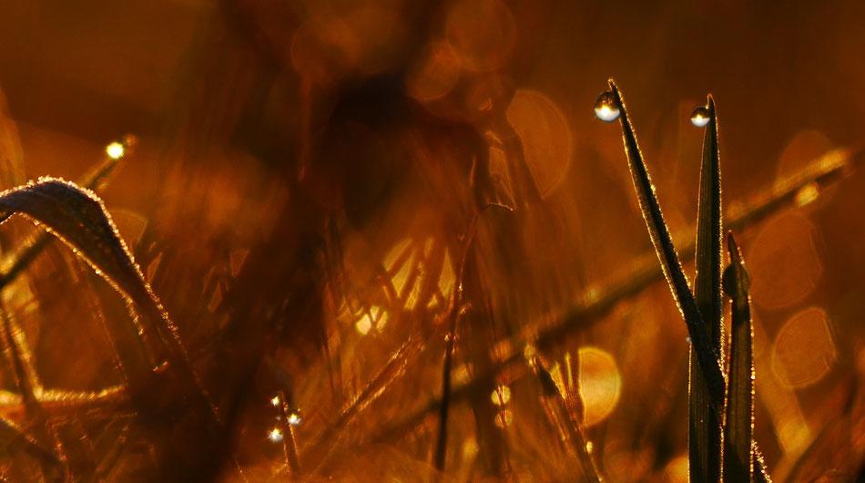 Wassertropfen, Gräser, Clasen/Stiller Fotografie, Udo Clasen, Patrick Stiller, Nachtaufnahme, Langzeitbelichtung, Sonnenaufgang, Sonnenuntergang, rot, grün, blau, orange, gold, gelb, Pflanzen, Baum, Bäume, HDR, Düsseldorf, Duisburg, Natur, Tiere, Wolken,