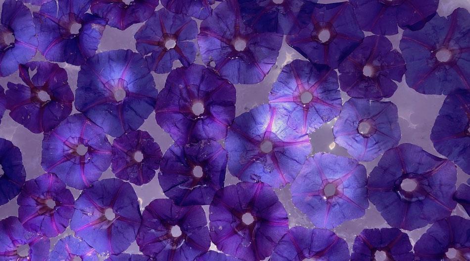 Blumenblüten in blau violetter Farbe