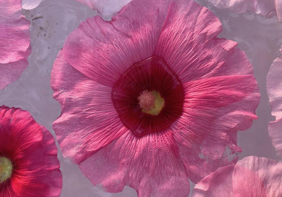 rosa blute