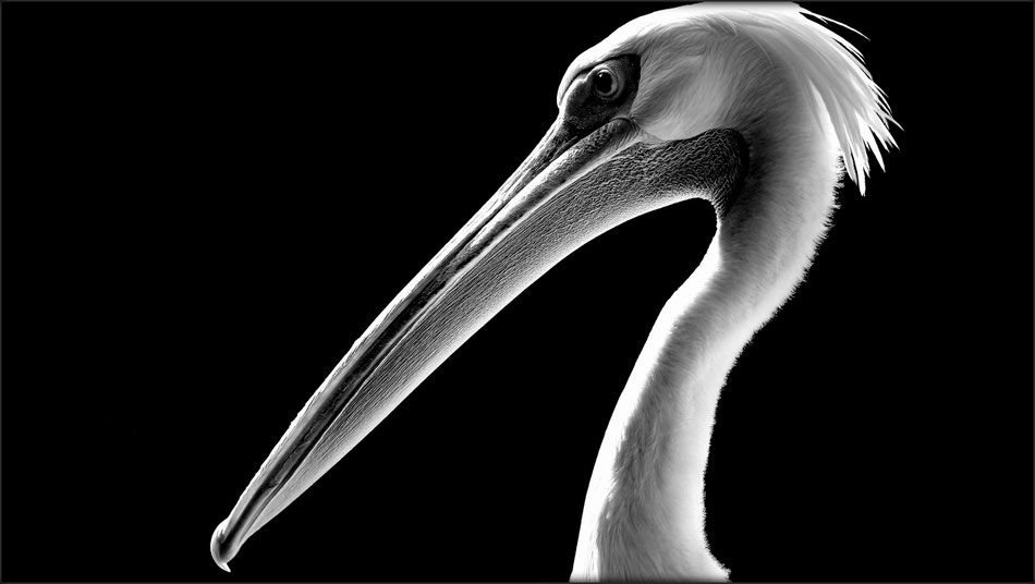 Portrait Of A Pelican I