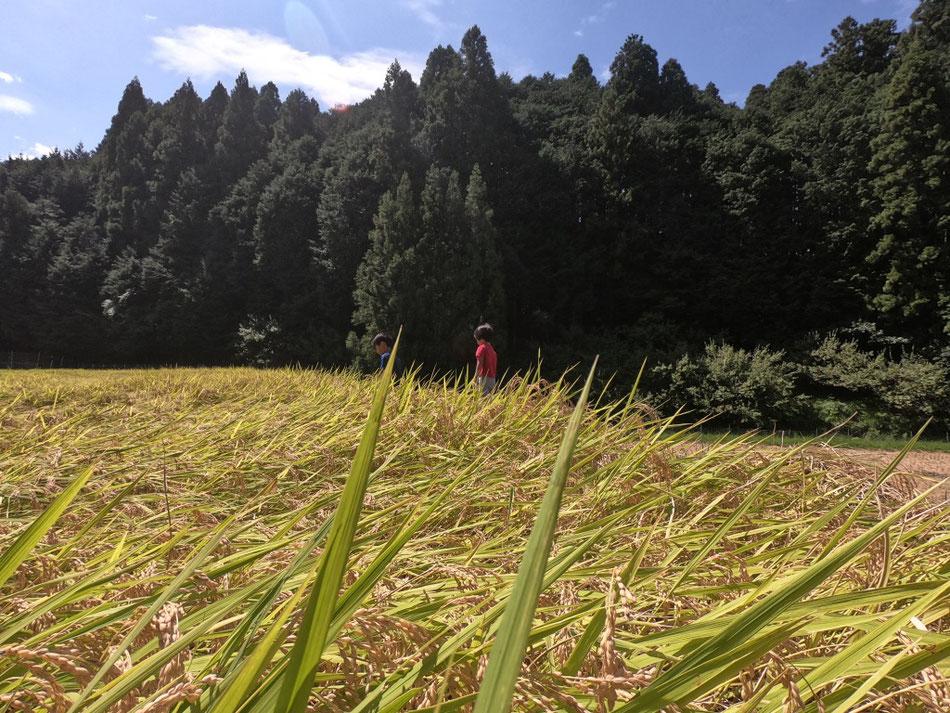 9月に行った稲刈り体験