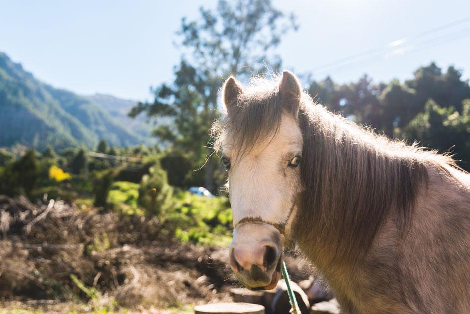 Pony en Aguamansa Tenerife