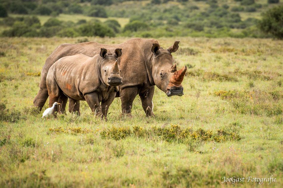 Nashorn, Nashörner, Tiere, Wild, Wildlife,