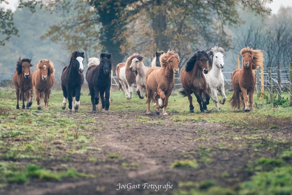 Pferde,Pferd,Islandpferd,Pferdefotografie,Appen,Wedel,herde,Pferdeherde