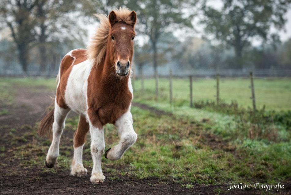 Pferde,Pferd,Islandpferd,Pferdefotografie,Appen,Wedel,