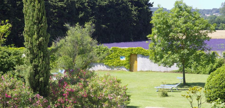 Die Lavendel in unseren Felder