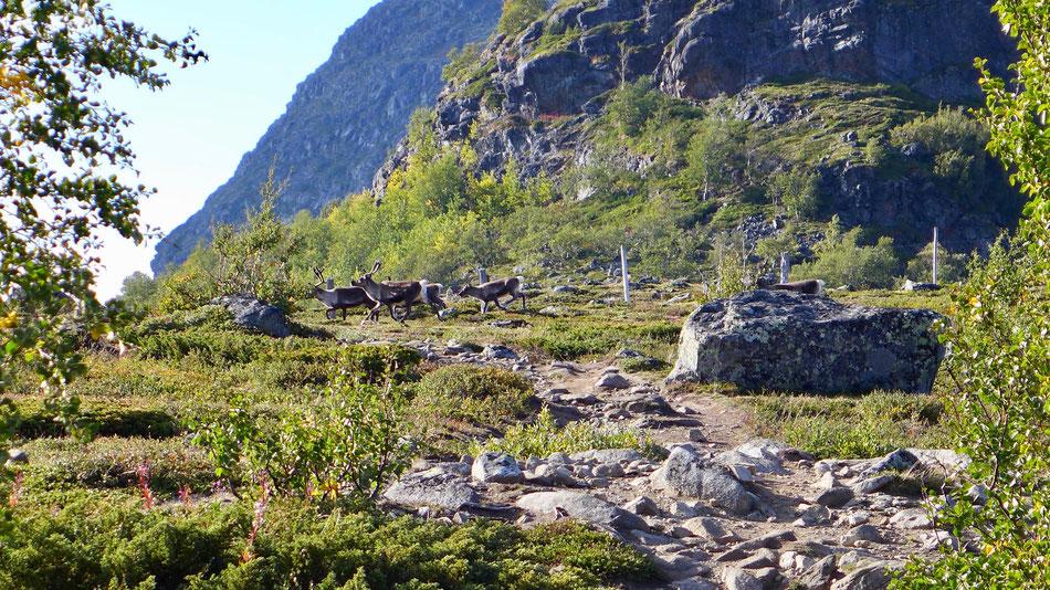 Rentiere kreuzen unseren Weg ins Nedre Leirungsdalen.