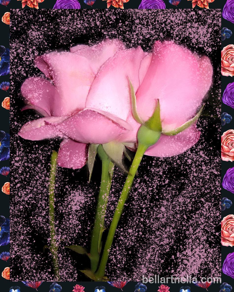 LE ROSE ROSA del vialetto, di sera