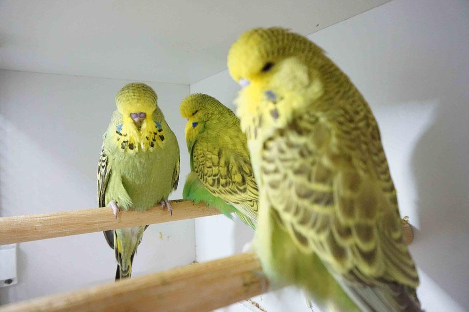 Schauwellensittiche Wellensittiche Champion Züchter Futter Vennhaus Jungvögel Vogelzucht