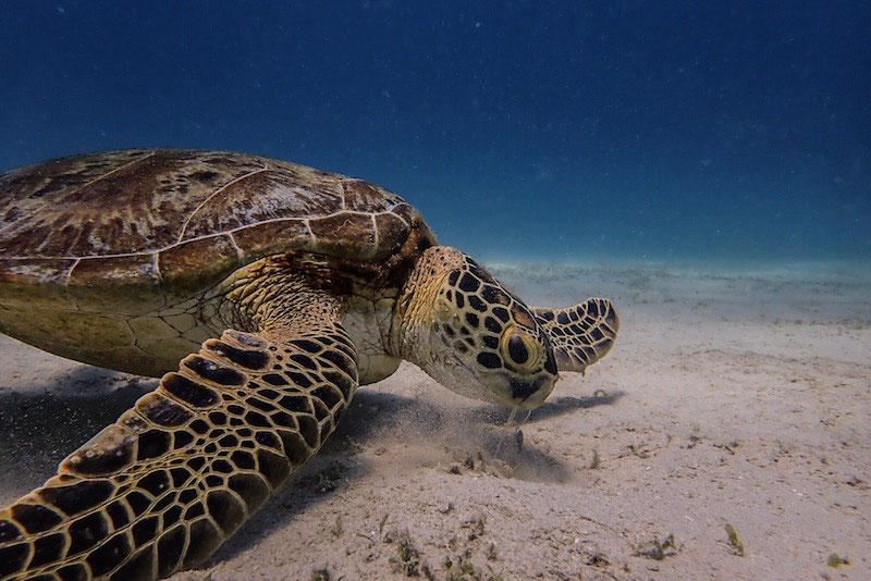Underwater Life. Aquatic Life. Green Seaturtle. Diving in Philippines.