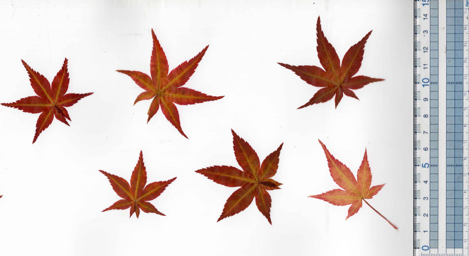 Edible Japanese maple leaf red medium