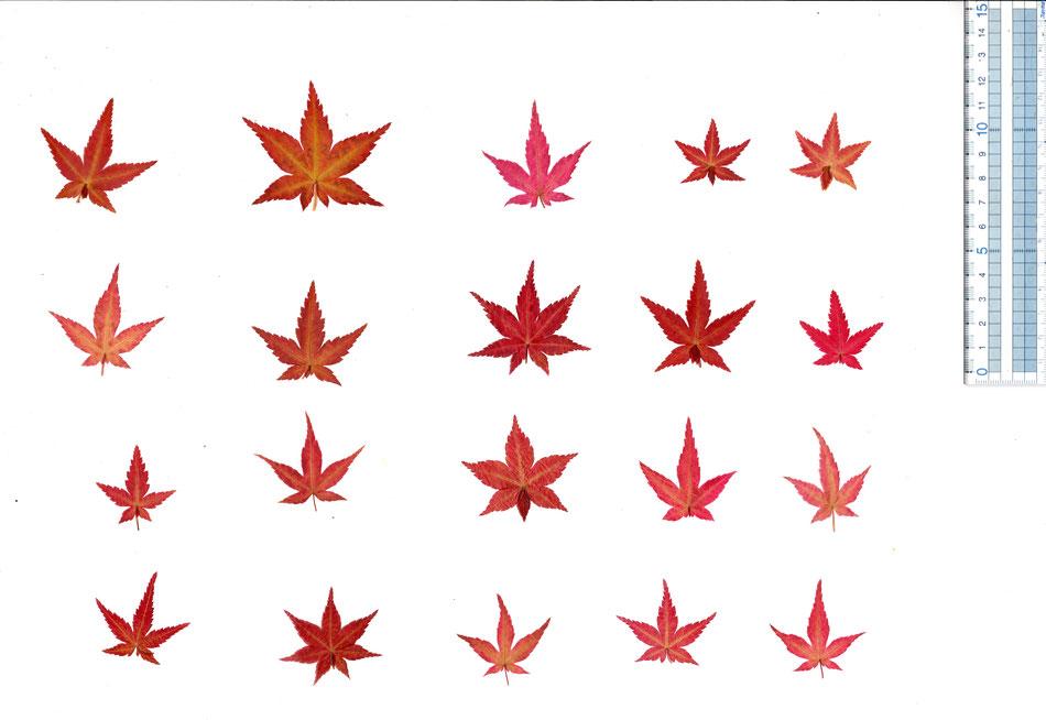 食べられる もみじ葉 乾燥 ドライ もみじ クリスタル 透明