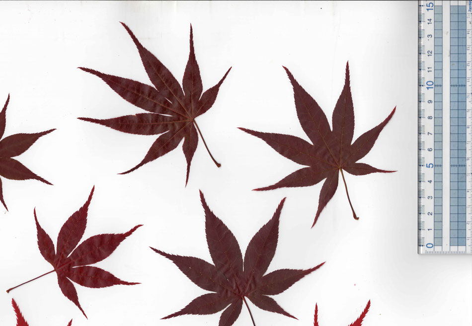 Edible Japanese maple leaf red large