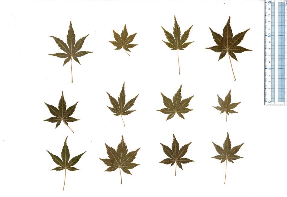 食べられる もみじ葉 乾燥 ドライ もみじ 緑