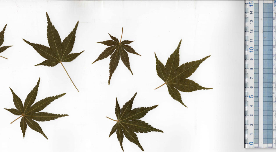 Edible Japanese maple leaf green