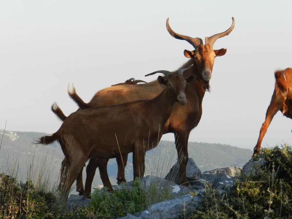 Skopelos - goat