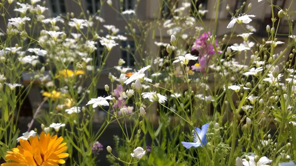 Foto: heimgruen Balkonkasten- Flickr Commons  (Creative Commons Licence Version 4.0) / Mehr Natur in der Stadt - Blumenwiesen für den Balkonkasten