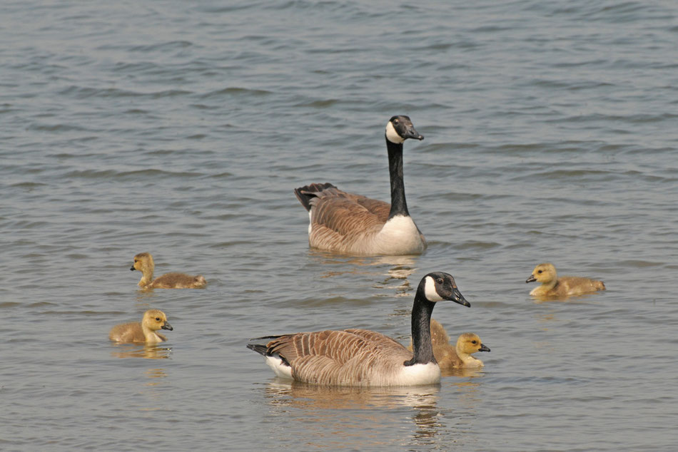 Kanadagansfamilie
