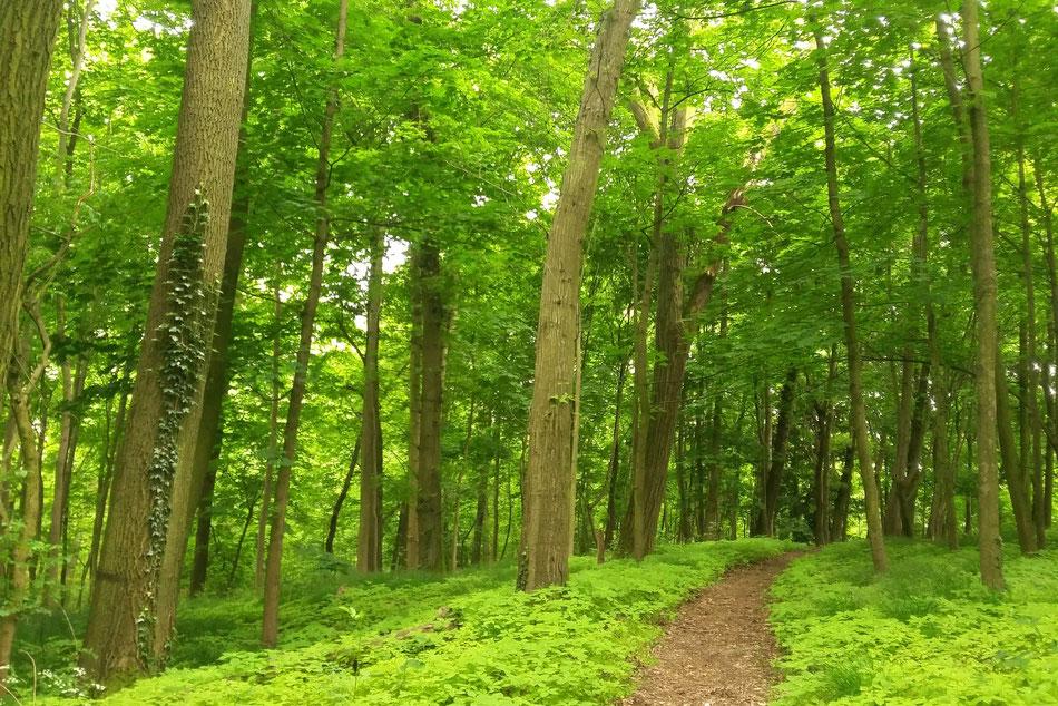 frühlingsgrüner Wald, von vorn nach hinten ein kleiner Pfad