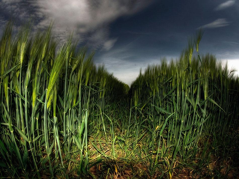 Poel Getreide