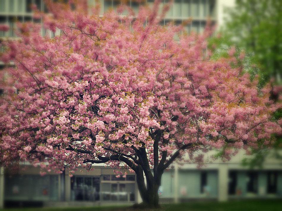 Kirschblüte in Essen