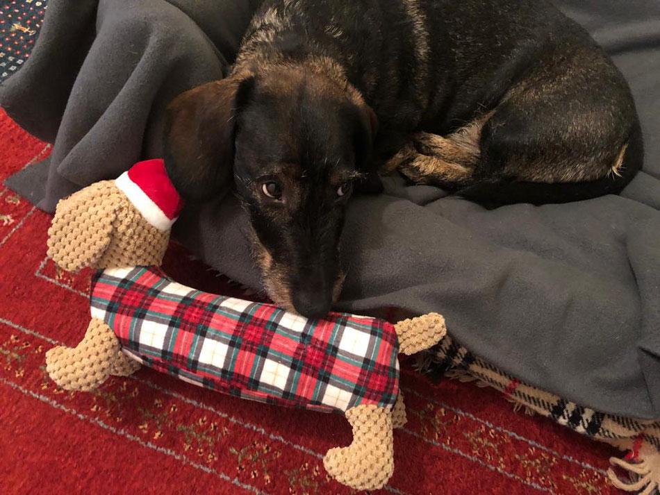 Kalle (Aramis vom Leykopf) mit seinem Weihnachtsgeschenk