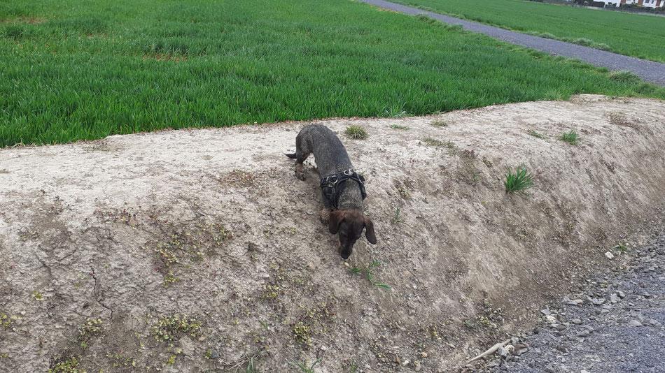 Baffy's Feldherrenhügel - Beim jedem Spaziergang wird er eingehend untersucht.