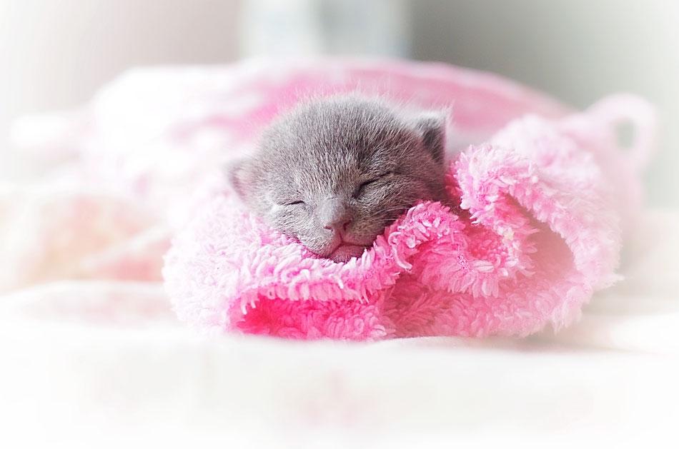 котенок русская голубая