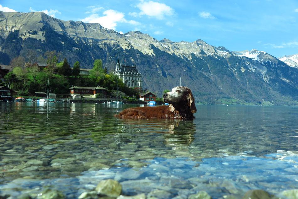 Coppersheen Dark Gold Duke beim sommerlichen Bad im Thuner See