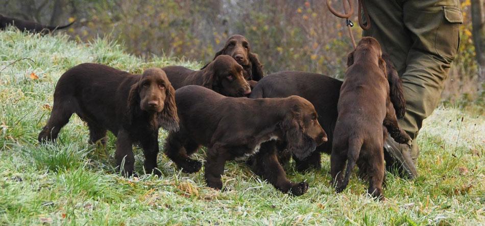 "Field Spaniel puppies ""vom Belauer See"", Photo: Claudia Bruhn"