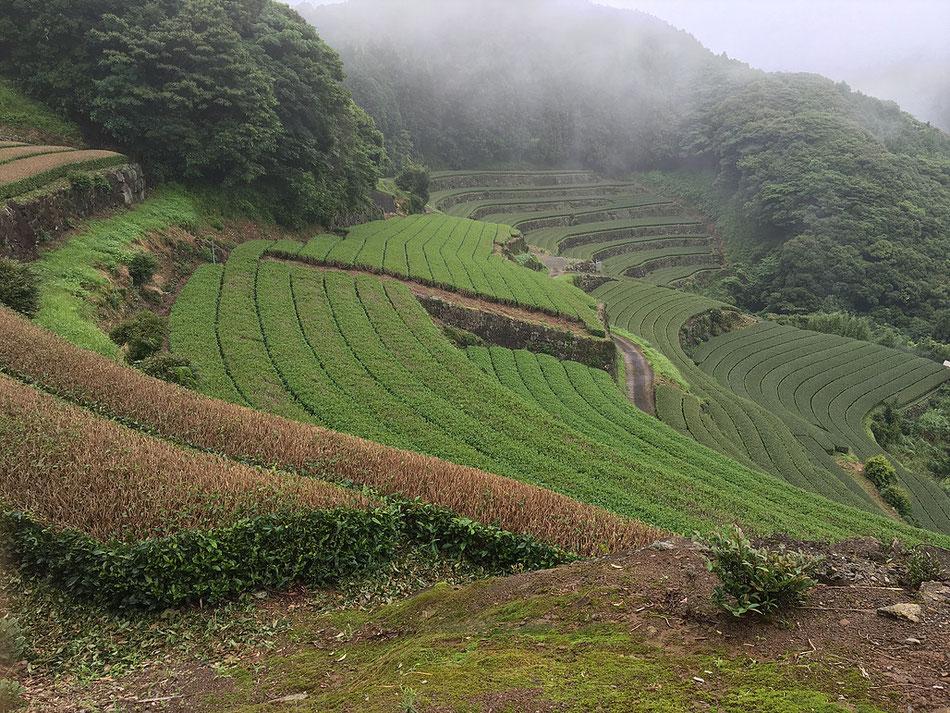 Campi di tè verde in Giappone