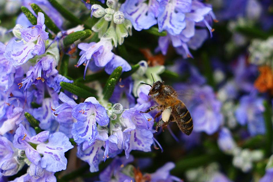 Rosmarino fiorito con ape
