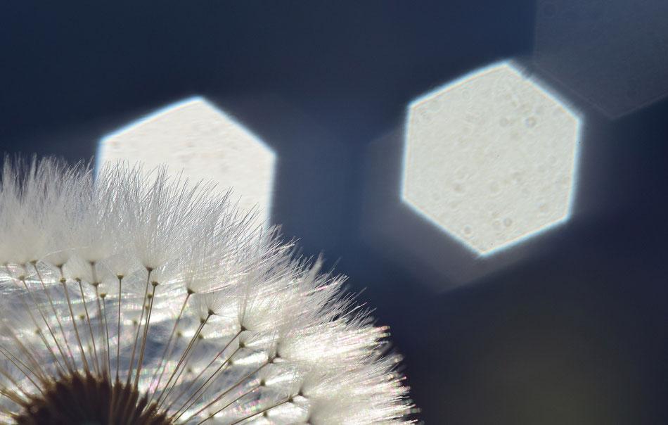 Fiore di Tarassaco come soffione