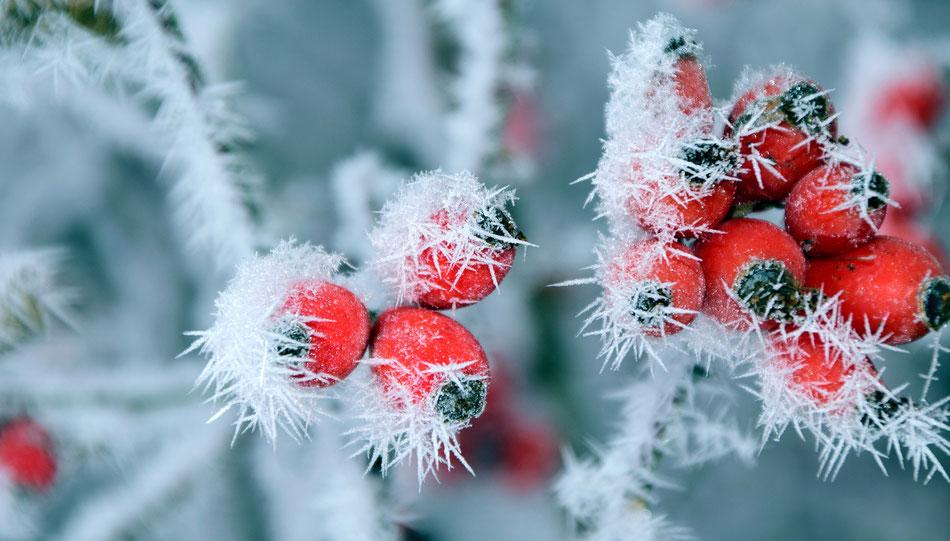 Cinorrodi di rosa canina nel ghiaccio