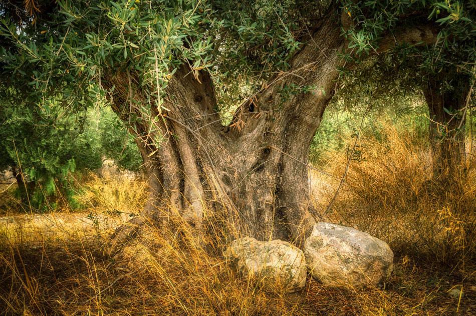 Vecchio albero di Olivo