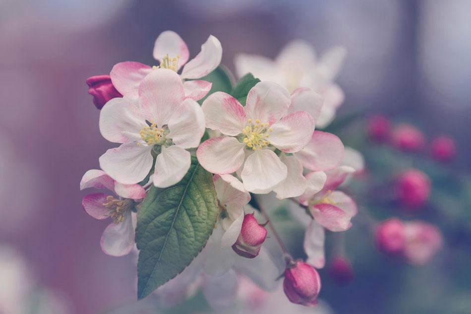 Roselline rosa di bosco