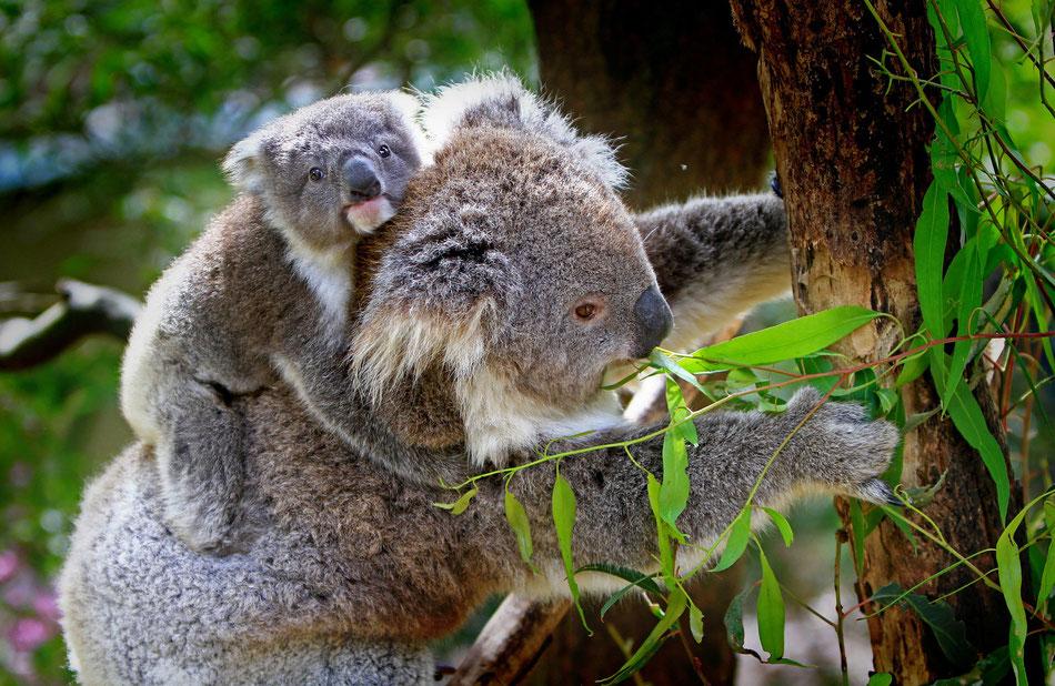 Eucalipto con koala