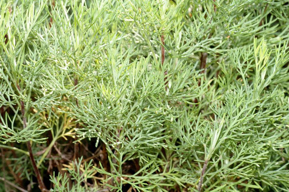 Pianta di Artemisia abrotanum in primo piano