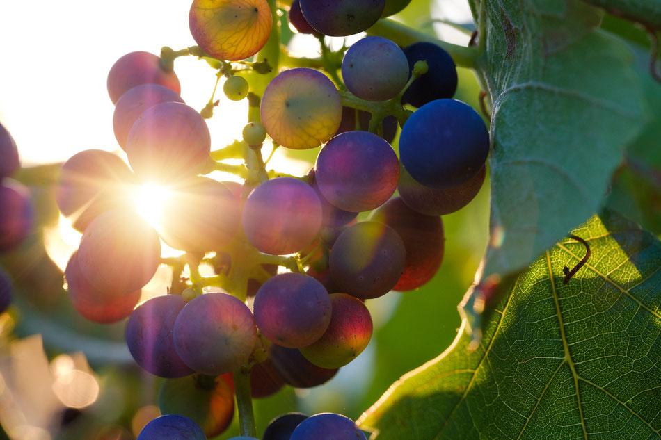 Uva nera con riflesso del Sole