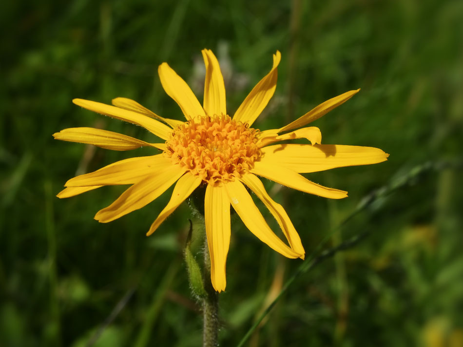 Fiore di Arnica
