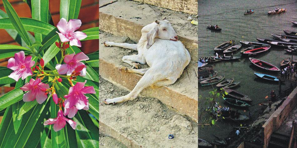 Oleander Blühten | Ziegenschlaf ' Ganges Sonnabend Boote und Lichter _Varanasi Uttar Pradesh