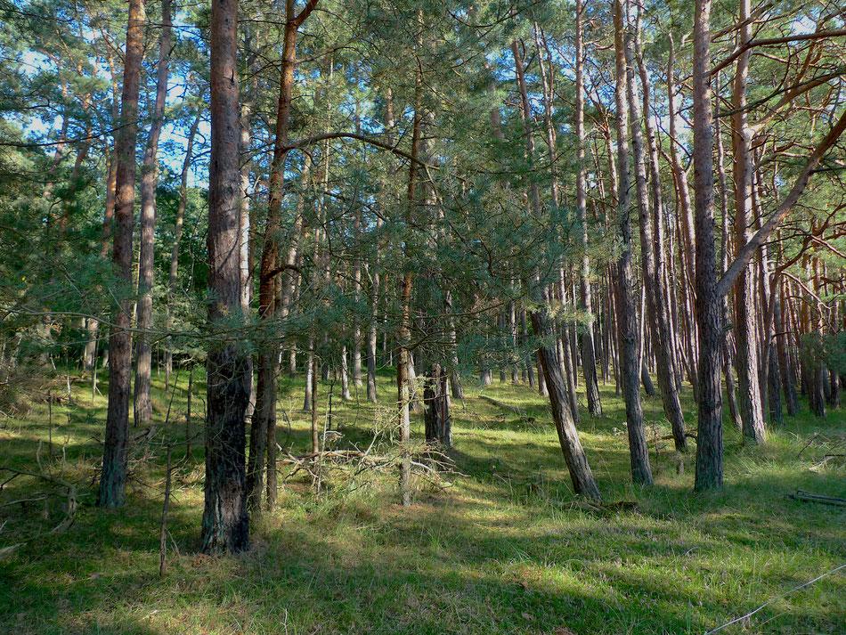 Dans la grande forêt du Darss.