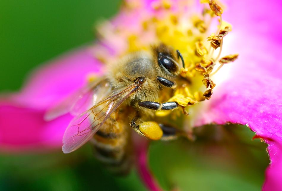 Biene mit Blütenstaub auf Blume