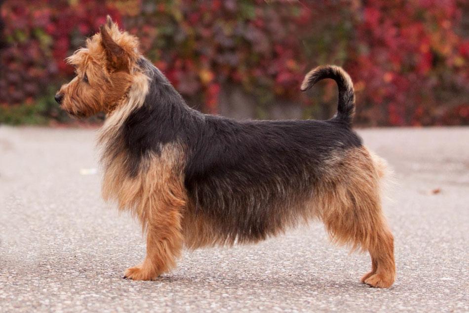Australian Terrier Hündin Klubsiegerin+BOB Harleth von den Grauen Anfurten