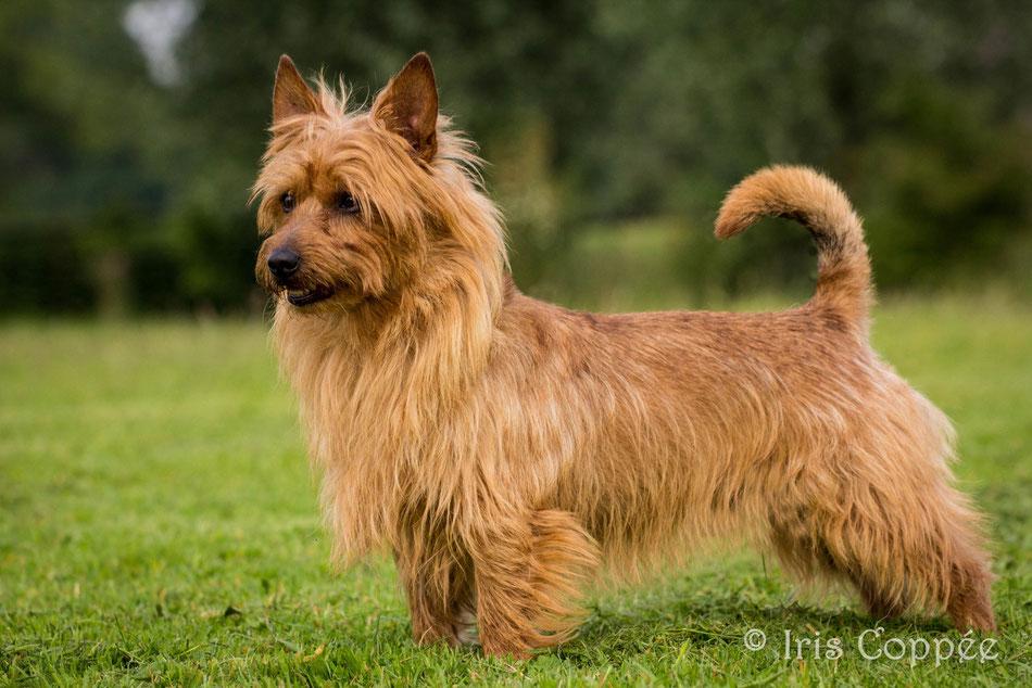 Australian Terrier Rüde Multi Ch. Cidan von den Grauen Anfurten