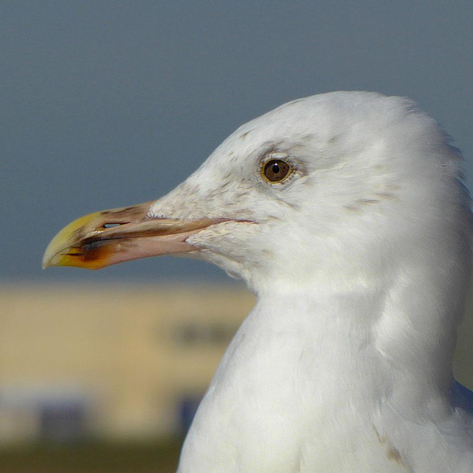 Gull Study @720mm