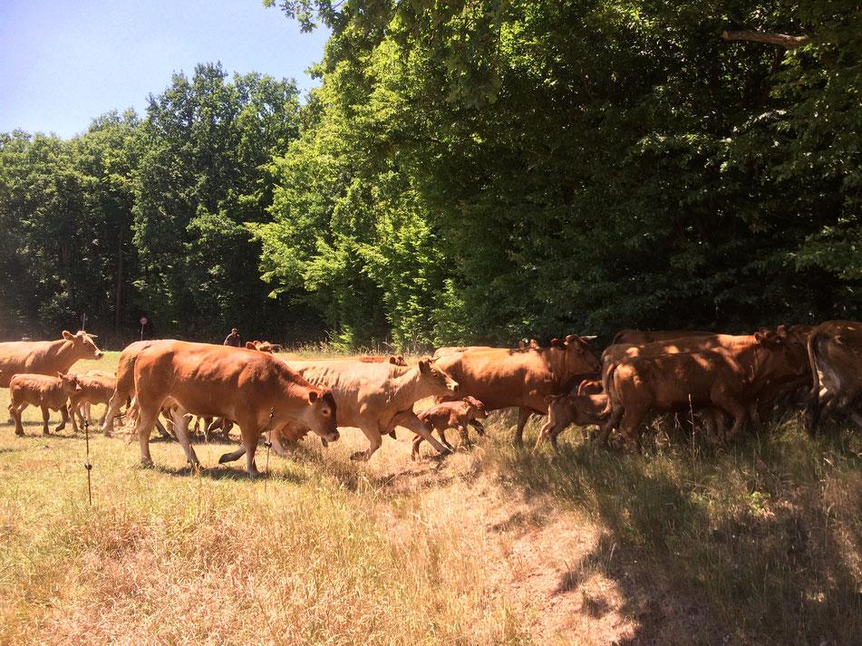 Die Herde beim Umtrieb- unterwegs zur neuen Weidefläche