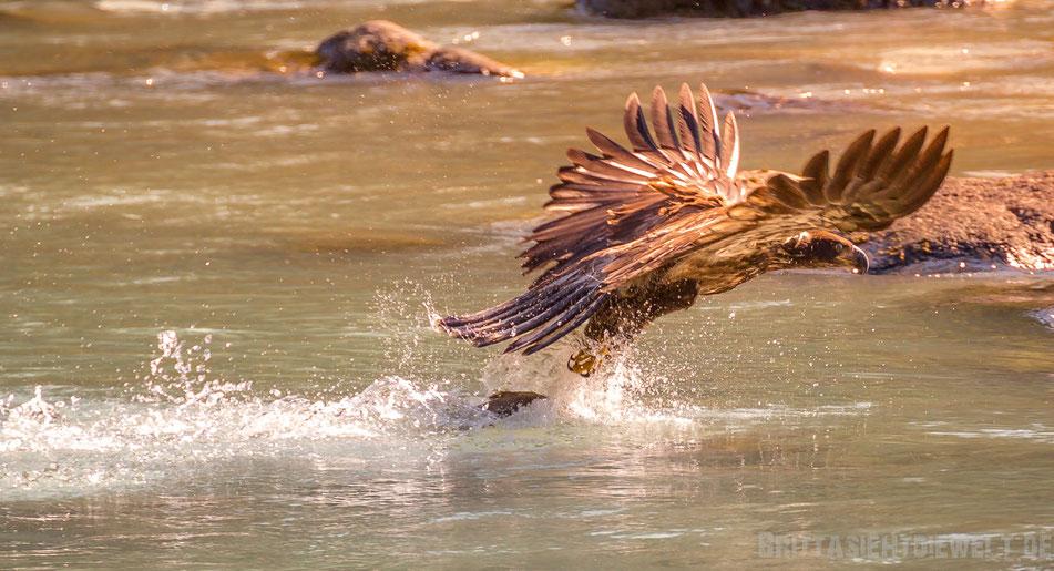seeadler, weisskopfseeadler, wildlife, safari, bear, viewing, exkursion, chilkoot, river, alaska
