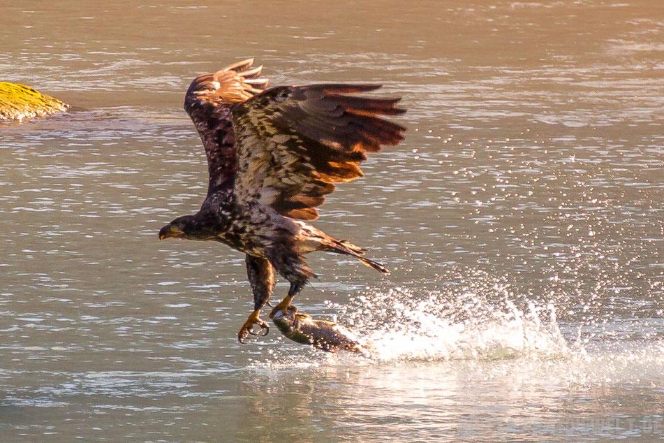 seeadler, weisskopfseeadler, haines, chilkoot, river, alaska, exkursion, lachs, lachsfang